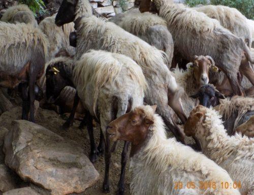 Παράταση για ένταξη στο Μέτρο 11 «Βιολογική Κτηνοτροφία»